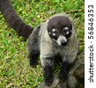 White-Nosed Coati (Nasua narica), Portrait - stock photo