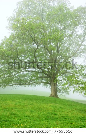White Oak tree in fog, misty spring morning, Webster County, West Virginia, USA - stock photo