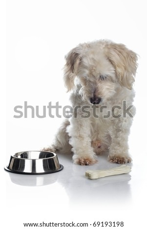 White old dog with bone waiting for food on white background - stock photo
