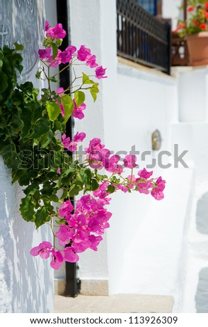 White old house and flowers at Santorini island,Greece - stock photo
