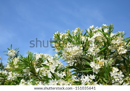 White Oleander under blue Sky, flowers, mediterranean - stock photo