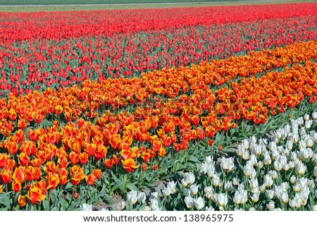 white, orange and red tulips on dutch fields, North Holland