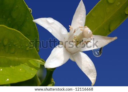 White Orange Blossom with Water Drop in Full Bloom Against Blue Sky - stock photo
