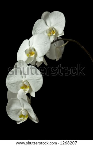 White Orchid 1 - stock photo