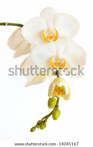 White orchid blooms on white background - stock photo