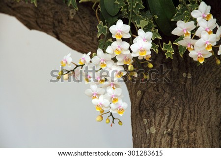 White orchid blossoming