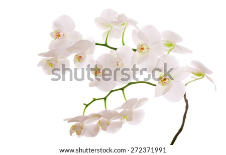 White  Orchid Branch. - stock photo