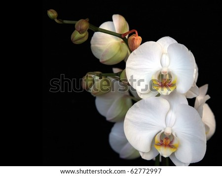 White orchid Closeup of a beautiful white orchid, shot on black background - stock photo
