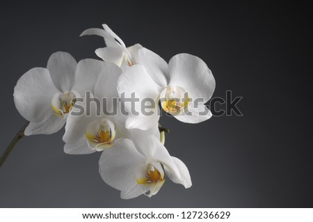 White orchid flower over grey background