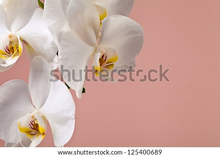 white orchid flowers on a pink background for greeting cards - stock photo