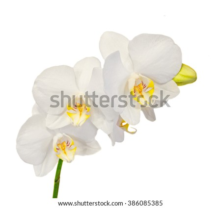 White orchid flowers with buds, Orchidaceae, Phalaenopsis known as the Moth Orchid, abbreviated Phal. White background.