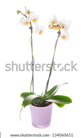 white orchid grows in pot isolated on white