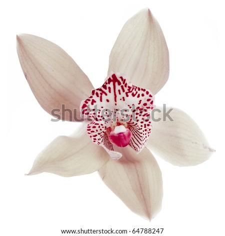 White orchid head close up  macro shot isolated on white background   - stock photo