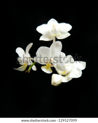 White orchid in black