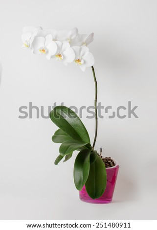 White orchid in pink flowerpot on white background, isolated on white - stock photo
