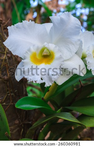 White orchid in Thailand - stock photo