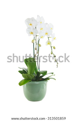 white orchid isolated - stock photo