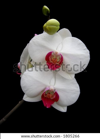 White orchid (isolated on black) - stock photo