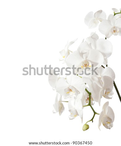 white orchid isolated on white - stock photo