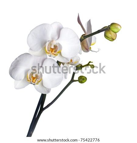 White orchid isolated on white background - stock photo