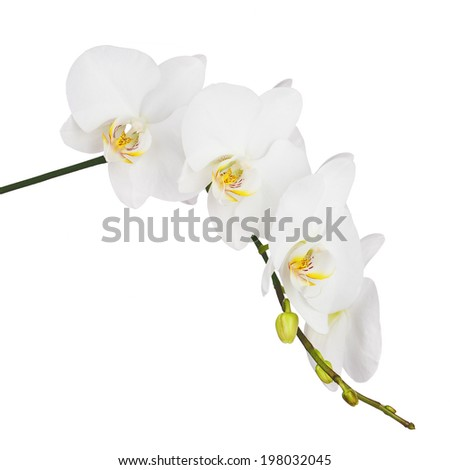 White orchid isolated on white background. Closeup.