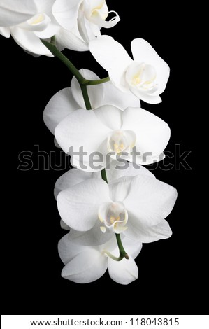 White orchid on a black background for your design - stock photo