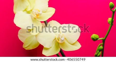 white orchid on a pink background - stock photo