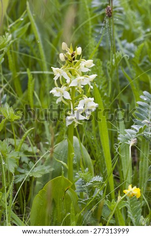 White orchid on a summer meadow - stock photo