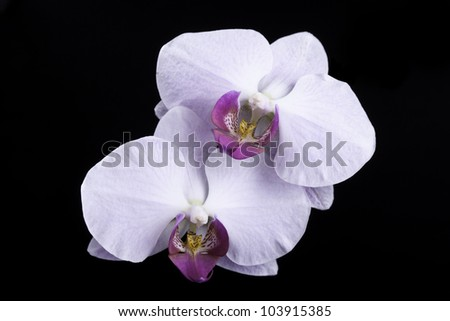 white orchid on black background - stock photo