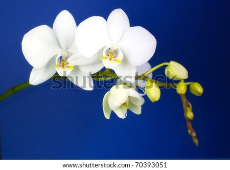 White orchid on dark blue background. - stock photo