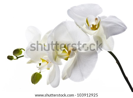 White orchid on the white background