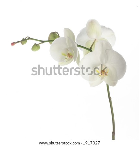 White orchid on white. - stock photo