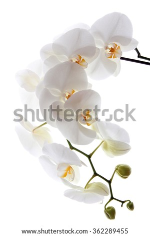 White orchid on white blackbackground - stock photo