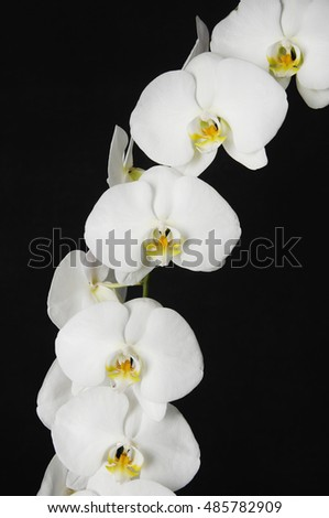 white orchid phalaenopsis flower isolated on a black background