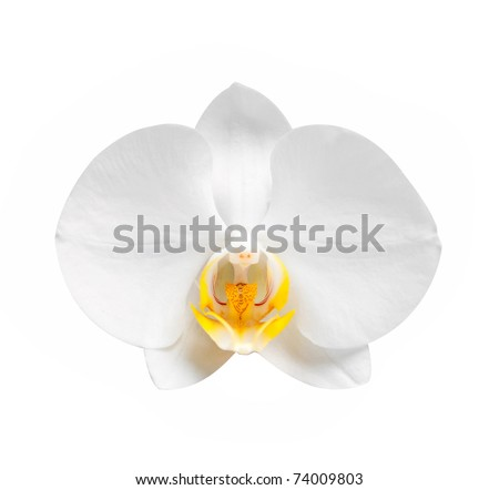 white orchid wiht  blossoms and buds over light - stock photo