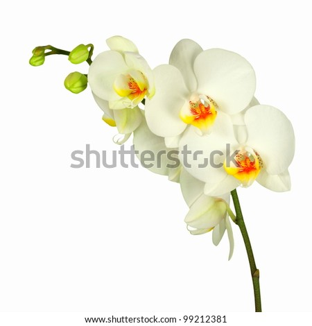 White orchid with bud, isolated - stock photo