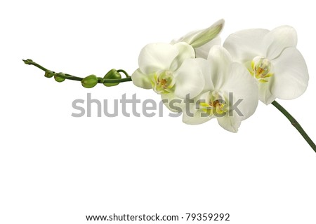 White orchid with bud (on a isolated background) - stock photo