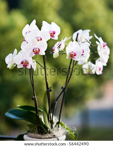 white orchid with green background - stock photo