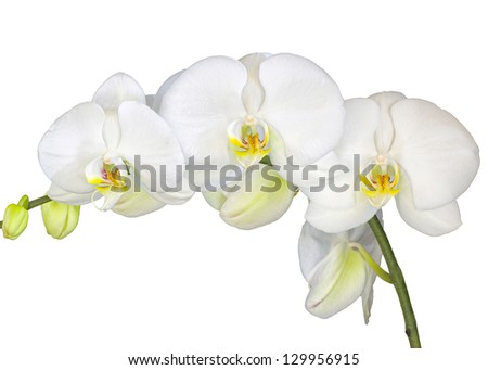White orchids isolated on a pure white background