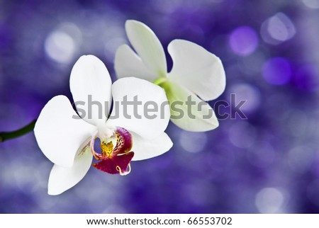 White orchids on violet background - stock photo