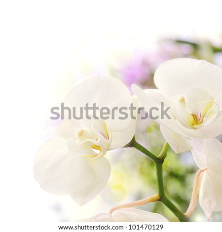 white orchids over a blur background with bokeh effect, with green yellow and purple colors, decorative background border - stock photo