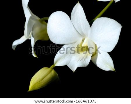 white orcid   - stock photo