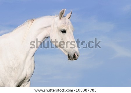 White Orlov trotter horse portrait on the sky background