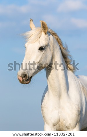 White Orlov trotter horse portrait on the sky background, vertical - stock photo