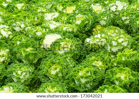 White Ornamental Cabbage plants - stock photo