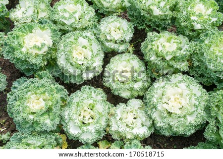 White Ornamental Cabbage plants in flower pot - stock photo