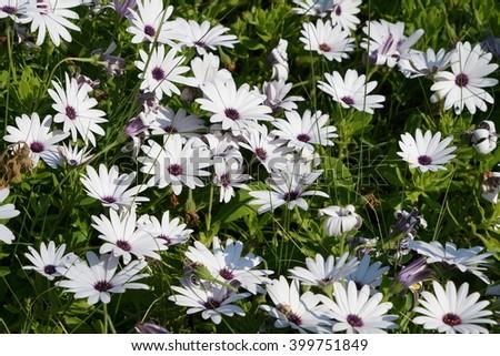 white Osteospermum flowers as a background - stock photo