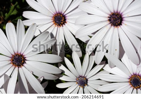 White Osteospermum flowers, Costa del Sol, Malaga Province, Andalucia, Spain, Western Europe. - stock photo