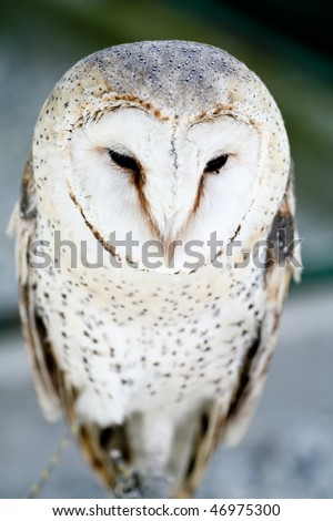White owl - stock photo