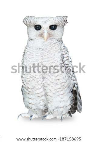 White owl, standing in front of white background - stock photo